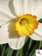 796801_daffodil
